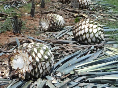 agave-tequilana-181458_640